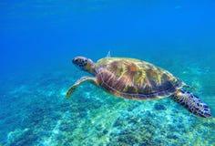 在海水的绿浪乌龟 海草龟水下的照片 在珊瑚礁的海洋动物 图库摄影