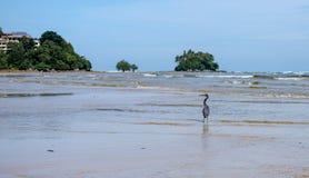 在海波浪的黑苍鹭 在ba的好的小绿色islandl 免版税库存图片