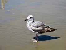 在海洋灰色海滩的海鸥 免版税图库摄影