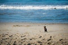 在海洋的鸬鹚鸟 免版税库存照片