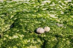 在海洋石头的壳 免版税库存照片