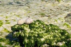 在海洋石头的壳 图库摄影