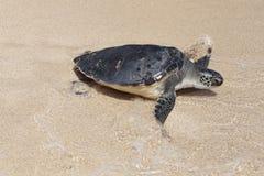 在海浪的乌龟 库存图片