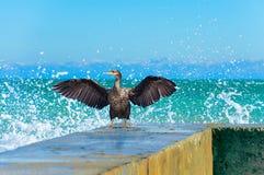 在海浪的浪花的Gannet 免版税图库摄影
