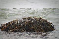 在海浪的海草 免版税库存照片