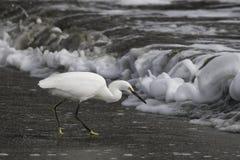 在海浪的白鹭 免版税图库摄影