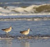 在海浪的矶鹞 图库摄影