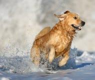 在海浪的金毛猎犬在海滩 免版税库存图片