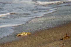 在海浪线的螃蟹 免版税库存照片