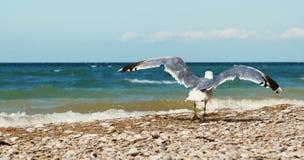 在海浪线路附近的海鸥 库存图片