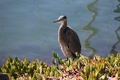 在海湾岸的伟大蓝色的苍鹭的巢在圣地亚哥 免版税库存照片
