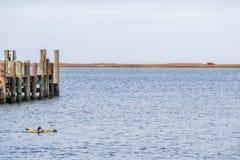 在海湾的两只鸭子 免版税库存照片