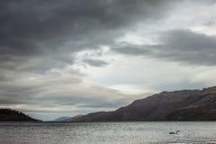 在海湾的天鹅 尼斯湖,堡垒奥古斯都,苏格兰,英国 库存照片