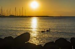 在海湾的天鹅 免版税图库摄影