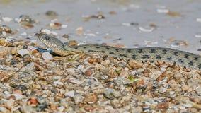 在海湾的水蛇 免版税库存照片
