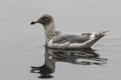 在海湾的波浪浮动的绿灰色飞过的鸥 免版税库存图片