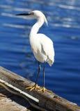 在海湾的船坞的白鹭 免版税库存图片