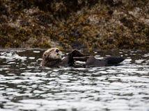 在海湾的阿拉斯加的海獭 库存图片