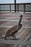 在海湾的鹈鹕支持AL 免版税库存图片