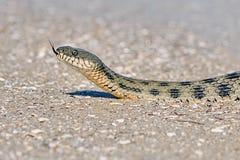 在海湾的水蛇 免版税库存图片
