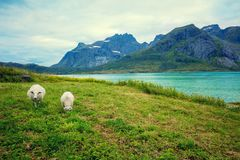 在海湾附近的草甸 在牧场地的二只绵羊 免版税库存图片