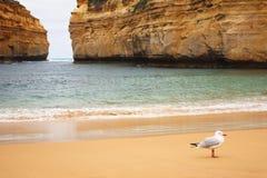 在海湾Ard峡谷的海鸥 免版税图库摄影