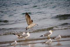 在海滨的七只海鸥 免版税库存图片