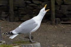 在海滨的嘎嘎叫的海鸥 免版税图库摄影