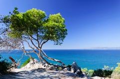 在海滨的杉木 免版税库存照片
