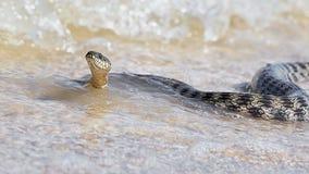 在海滨的水蛇 库存图片