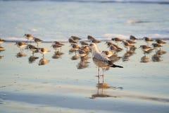在海滨的海鸥在三趾滨鹬前面 库存照片