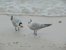 在海滨的海鸥在Tulum,墨西哥 向量例证