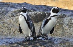 在海滨的非洲企鹅 在Simons镇附近的冰砾海滩开普敦半岛的, 库存图片