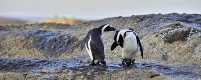 在海滨的非洲企鹅 在Simons镇附近的冰砾海滩开普敦半岛的, 图库摄影