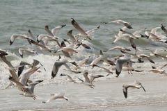在海滩大群的海鸥 免版税图库摄影