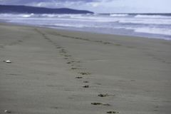 在海滩沙子的动物伴侣狗轨道 免版税库存图片