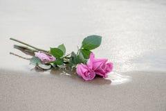 在海滩沙子的桃红色玫瑰 图库摄影