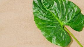 在海滩沙子的绿色热带叶子 股票录像