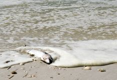 在海滩洗涤的一条死的梭子鱼鱼 库存照片