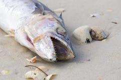 在海滩洗涤的一条死的梭子鱼鱼 免版税库存照片