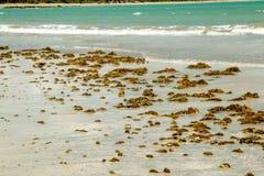 在海滩洗涤的海草 免版税库存图片