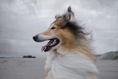 在海滩的一只成人红色粗砺的大牧羊犬 图库摄影