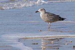 在海滩的一只海鸥 图库摄影