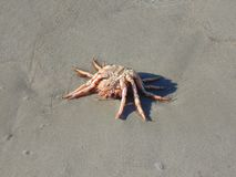 在海滩的一只蜘蛛蟹 免版税库存照片