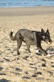 在海滩的一条愉快的狗 免版税图库摄影