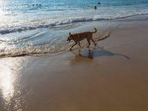在海滩的一条狗在日落光 免版税库存照片