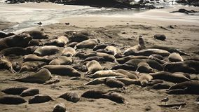 在海滩的不安定的海象 股票录像