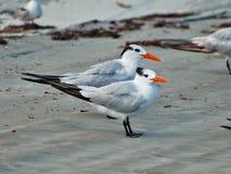 在海滩的两只燕鸥 免版税库存照片