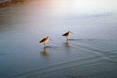 在海滩的两只鸟在水中 免版税库存照片
