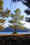 在海滩的偏僻的绿色杉树在海海湾 库存图片